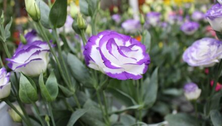 Are Lisianthus Cut and Come Again Flowers?
